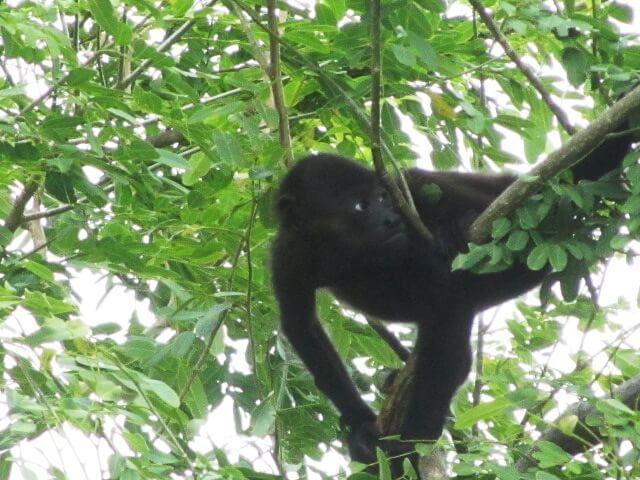 hanging-monkey